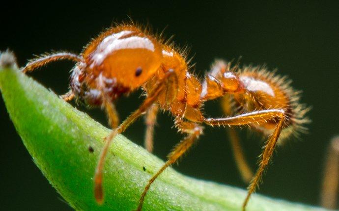 a fire ant crawling on a blade of grass