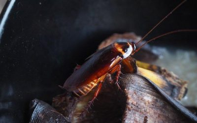 The Dangers Of Cockroaches In Your Baltimore Home
