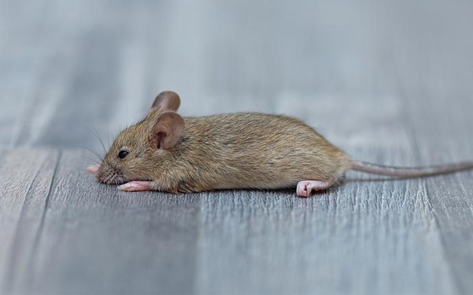 Baltimore's Complete Rodent Prevention Guide