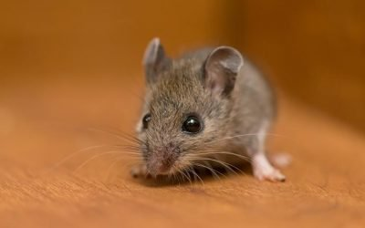 How Dangerous Are Rodents In My Baltimore Home?