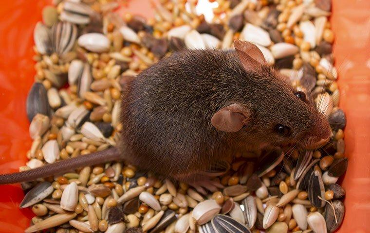 The Mild Mannered House Mouse Can Cause Big Problems For Your Columbia Home