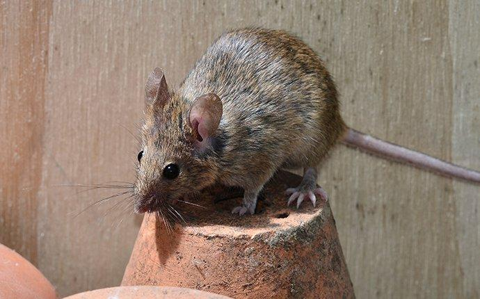 a mouse crawling on plant pots in glen burnie