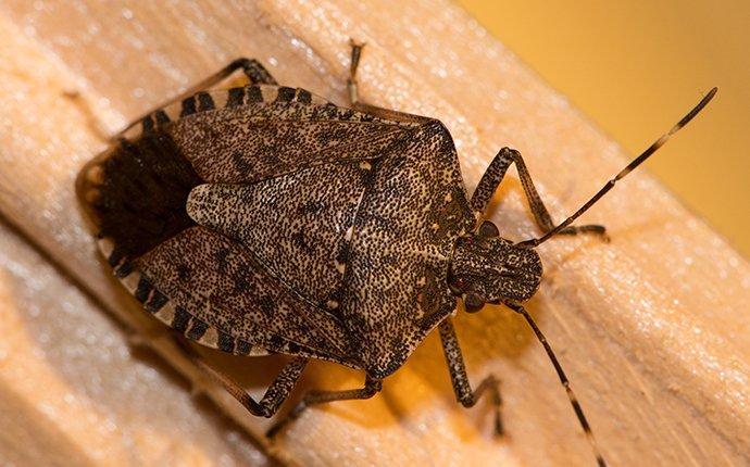 a brown marmorated stink bug crawling on the hardwood floor of a home