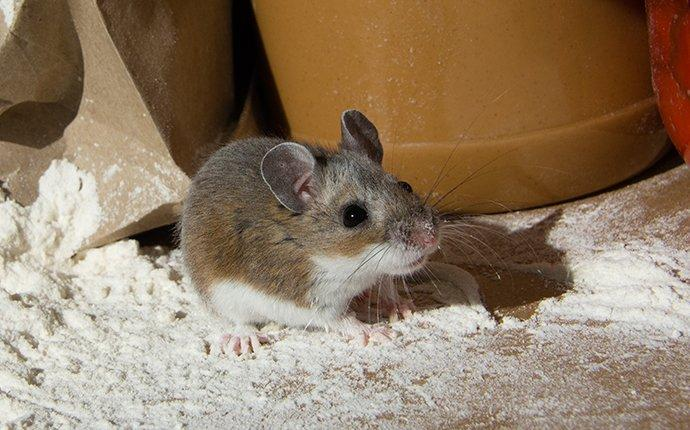 a mouse in a pantry inside a home in laurel maryland