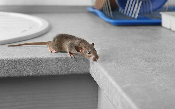 a rat crawling on a counter surface in annapolis maryland