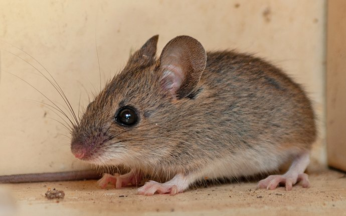 a mouse crawling on the floor of a home