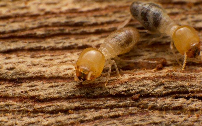 two termites eating a piece of structural wood inside a home in  baltimore maryland