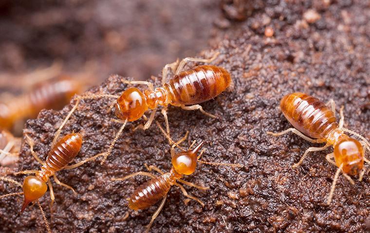 termite infestation in glen burnie marylland