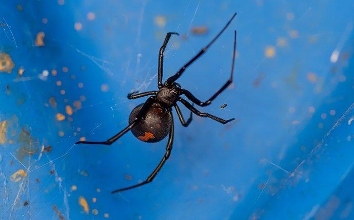 black widow in a web outside home