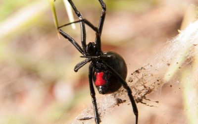 Baltimore's Guide To Effective Black Widow Control