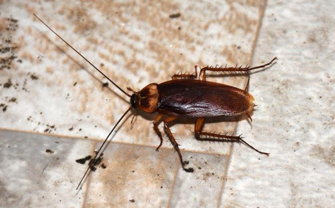 american-cockroach-in-a-basement
