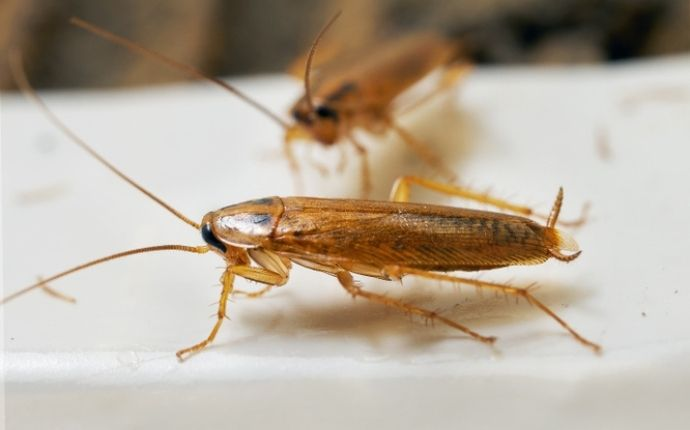close up of a sykesville cockroach