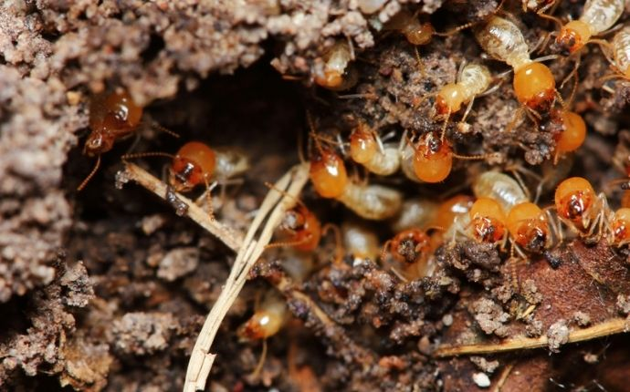 termite burrowing into wood in odenton