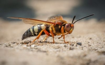 Cicada Killer Wasps: Are They a Danger to Baltimore Homeowners?