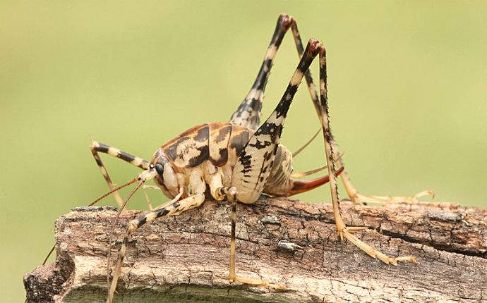 Close up of a camel cricket on a log