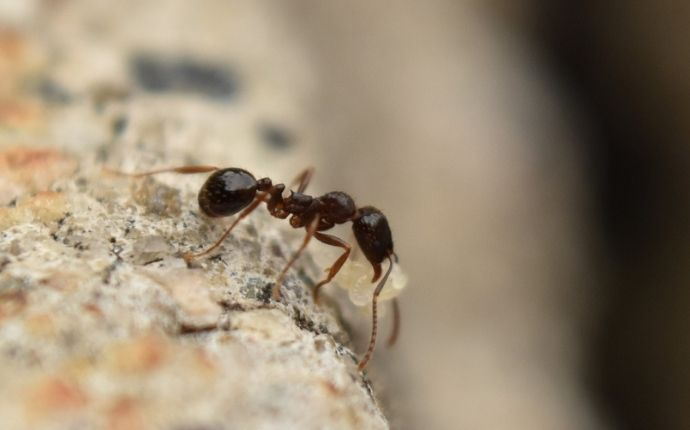 close up of a pavement ant