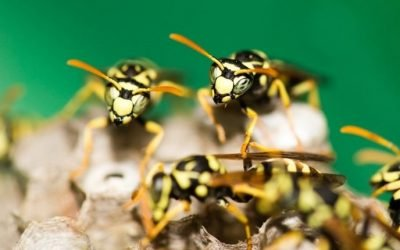The Most Common Types of Wasps in Maryland