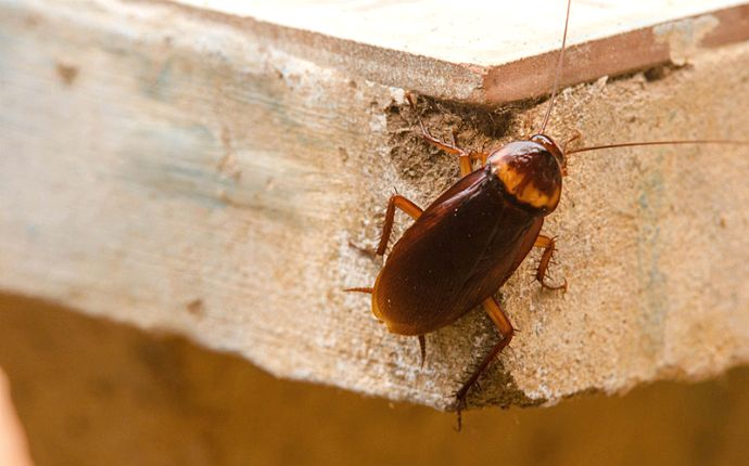 Close-up of a cockroach on the side of a wooden board.
