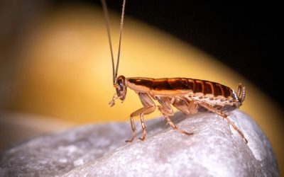 How To Control for German Cockroaches: A Guide for Baltimore Homeowners