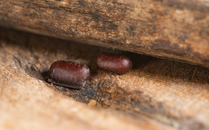 Two cockroach egg cases nestled by the edge of a wooden cabinet.