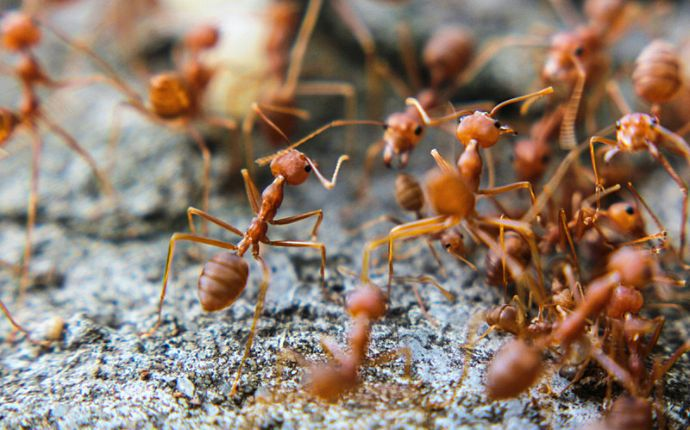 Close-up of a group of fire ants on the ground