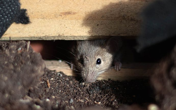 A mouse peering out from wooden slats