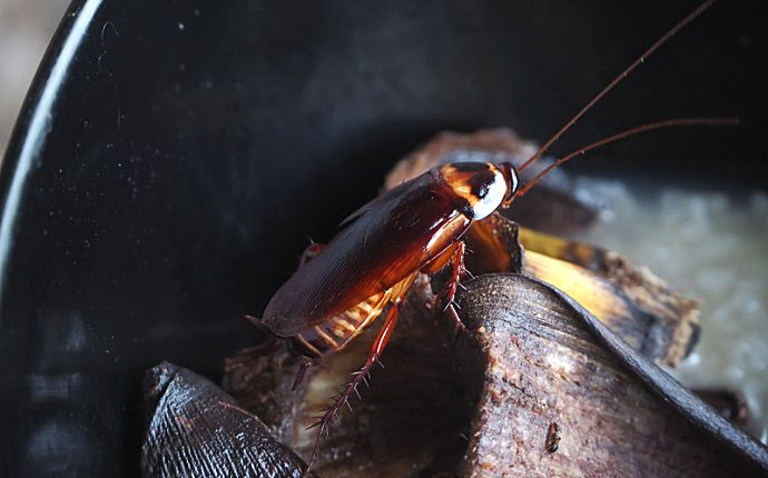 Close-up of a cockroach on top of a banana peel