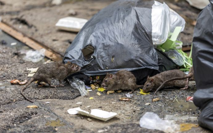 Three rats rooting through a black garbage bag.