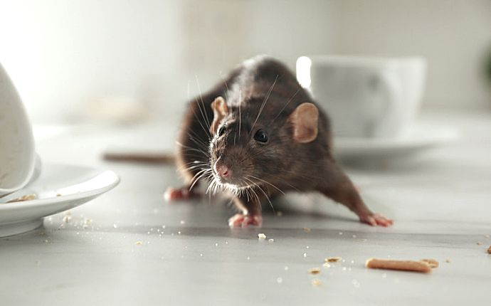 A rat searching for crumbs on a white countertop next to teacups.