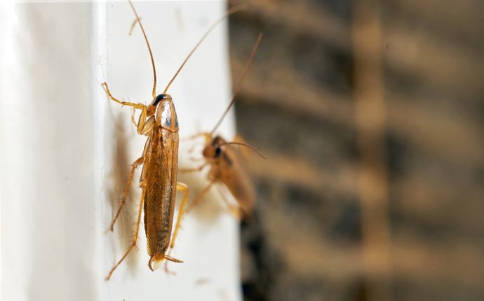 Two cockroaches crawling on a white wall next to a window.