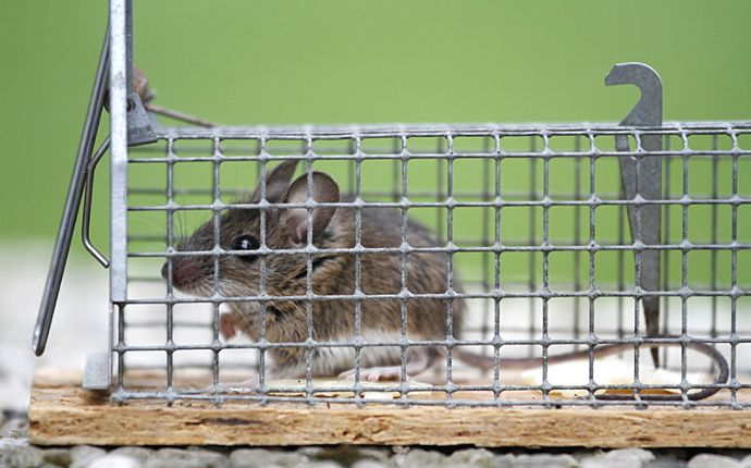 A mouse in a metal live catch trap.