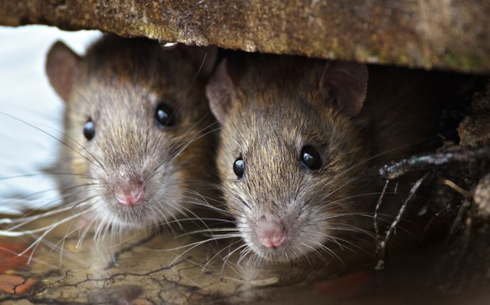 Close-up of two brown rats peeking out from a gutter